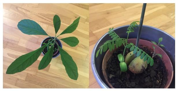 Avocado Plant + saplings